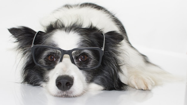 Border collie dog wearing black glasses isolated on white background