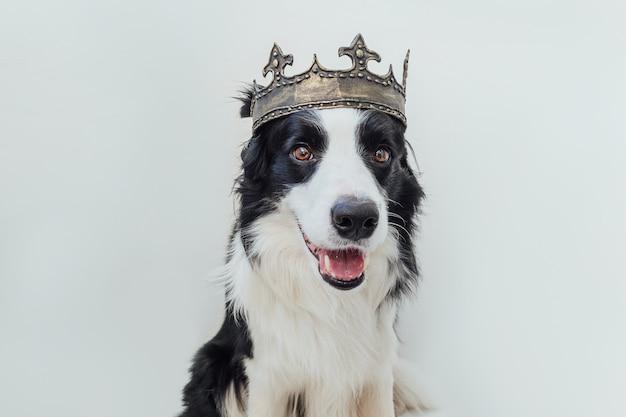 왕의 왕관을 쓰고 보더 콜리 개는 흰색 배경에 고립