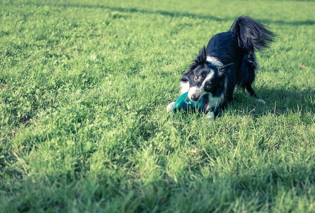 Border collie dog with flying disc toy