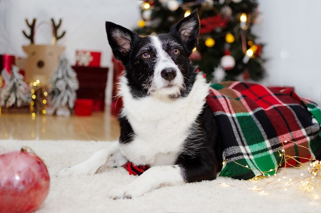 Border collie dog wrapped with a wool checkered blanket below christmas tree lights.