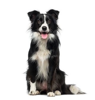Border collie in front of a white wall