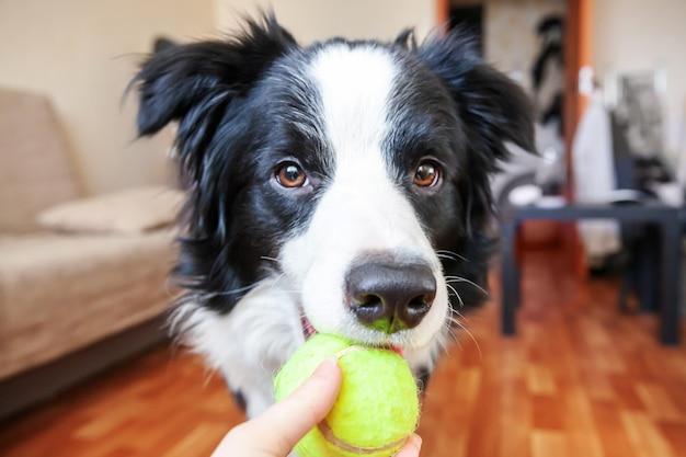 Бордер-колли держит игрушечный мяч во рту