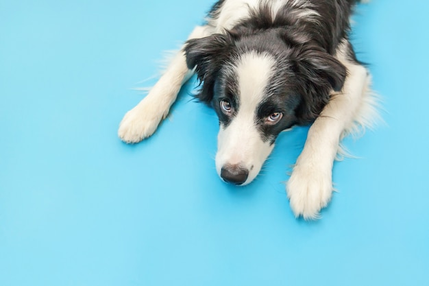 Border collie isolated on blue background