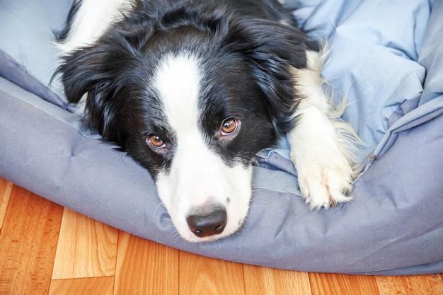 Бордер-колли, лежа в постели собаки в помещении