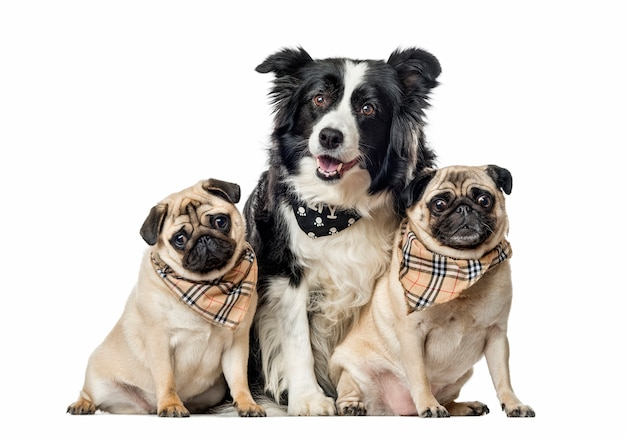 Border collie and pugs with scarfs sitting, isolated on white