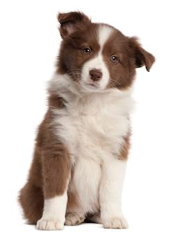 8 주 된 보더 콜리 강아지