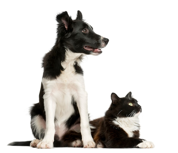 Border collie puppy and a cat in front of a white wall
