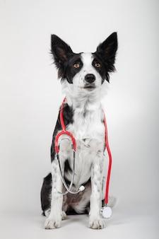 ボーダーコリーの子犬は、白い背景に赤い聴診器を保持しています。垂直方向の画像