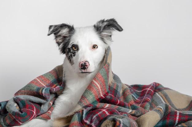 Щенок бордер-колли лежит под теплым одеялом на белой поверхности