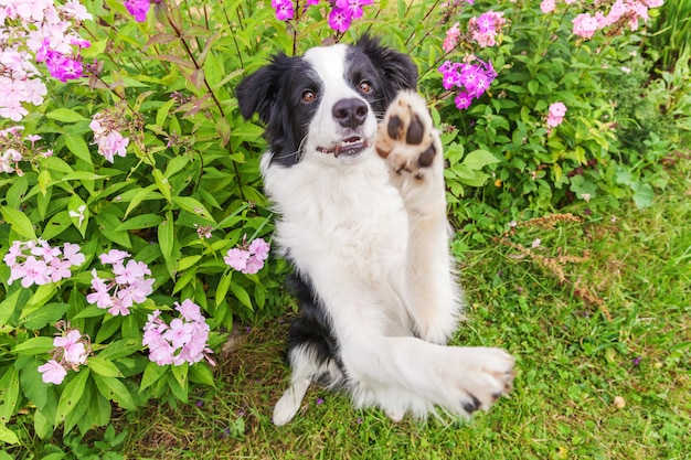 Border collie sitting on grass flower background