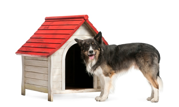 Border collie standing next to a kennel against white background