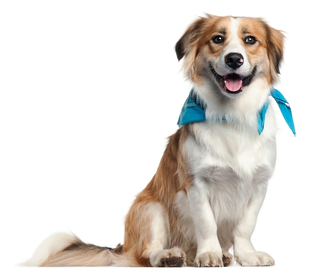 Border collie wearing blue handkerchief, 1 year old,