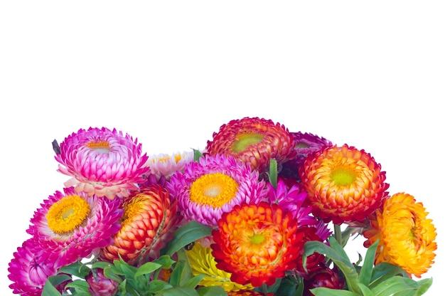 Border fresh everlasting flowers bouquet  isolated on white background