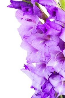 Border  of  fresh gladiolus flowers close up isolated on white background