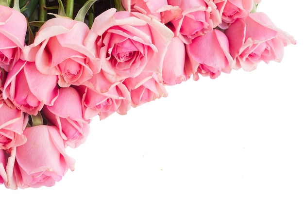 Border  of fresh pink garden roses  isolated on white background