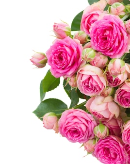 Border of fresh pink roses close up isolated on white space