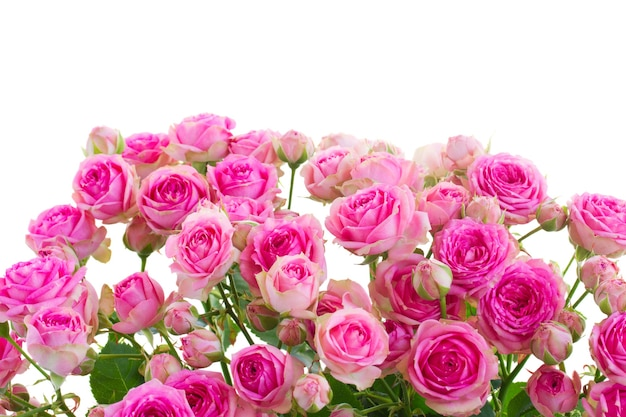 Border of fresh pink roses  isolated on white space