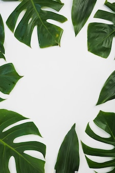 Border made with monstera leaves on white background