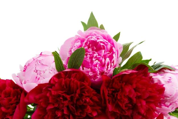 Граница красных и розовых пионов крупным планом, изолированные на белом фоне