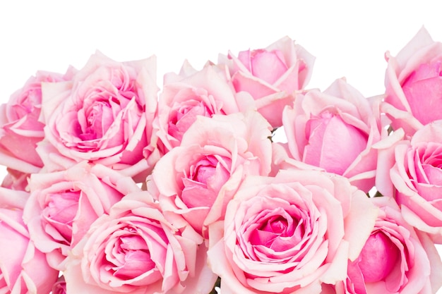 Border  of  pink blooming roses  isolated on white background