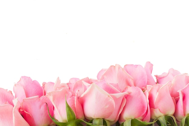 Border  of  pink garden roses  isolated on white background