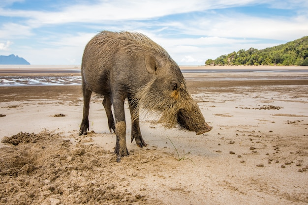 Bornean bearded pig sus barbatus on bako national park beach searching for food in the sand, kuching, malaysia, borneo