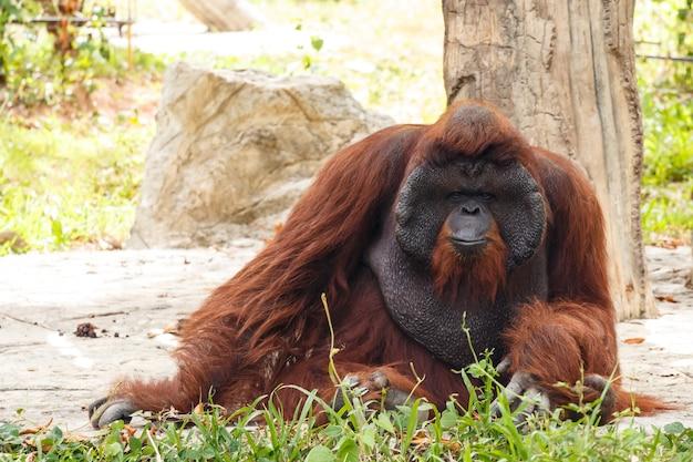 ボルネオ島オランウータン(pongo pygmaeus)in thailand