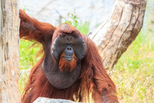 Bornean orangutan ( pongo pygmaeus ) in thailand