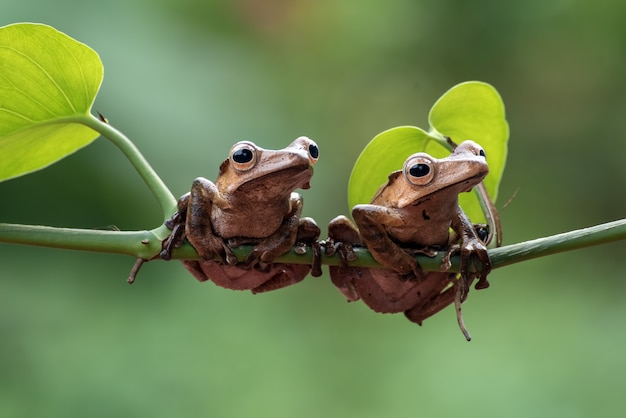 Borneo eared frogs on a tree branch