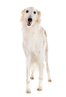 Borzoi in studio