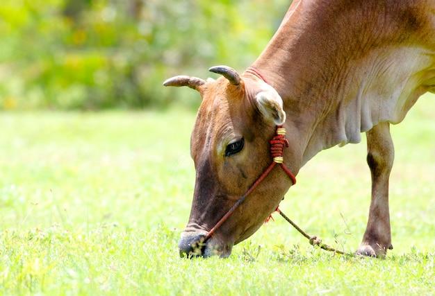 牛bos primigenius牛は草の上を放牧します