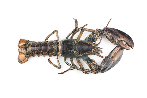 Boston lobster isolated on white background.
