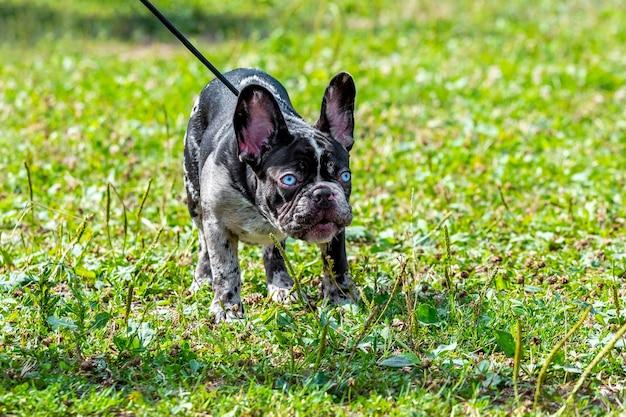 散歩中に芝生の上の公園でひもにつないでボストンテリア犬。変な顔つきの怒っている犬