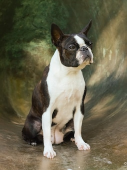Boston terrier portrait on iron background