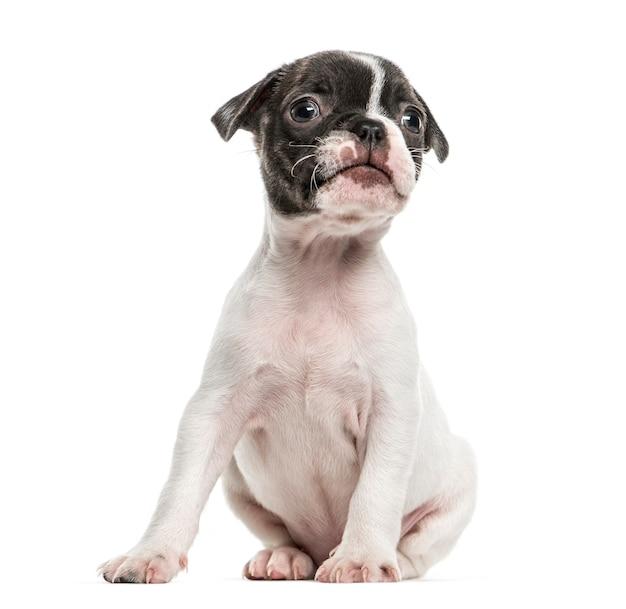 ボストンテリアの子犬が座って、白で隔離
