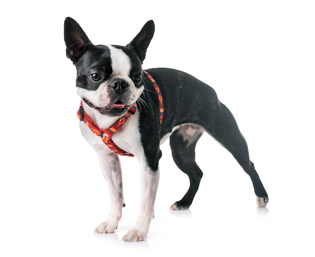 Boston terrier in studio
