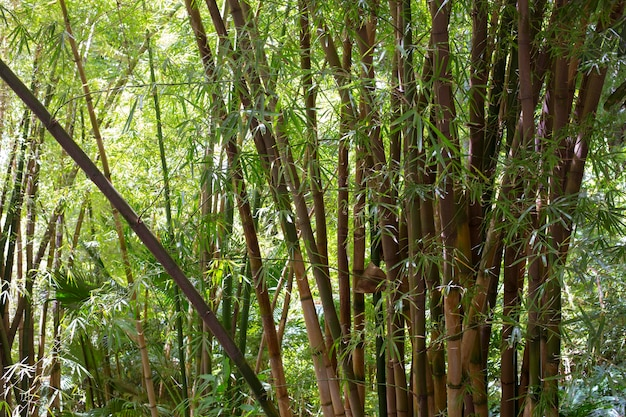 Botanical bamboo forest in daylight