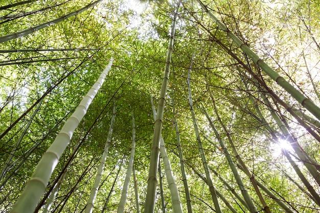 日光の下での植物の竹林