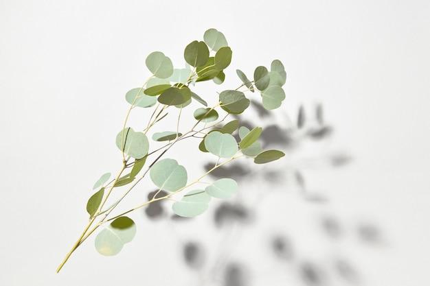 白い壁の上に影のある常緑ユーカリ植物の落下する自然の小枝からの植物組成、コピースペース。