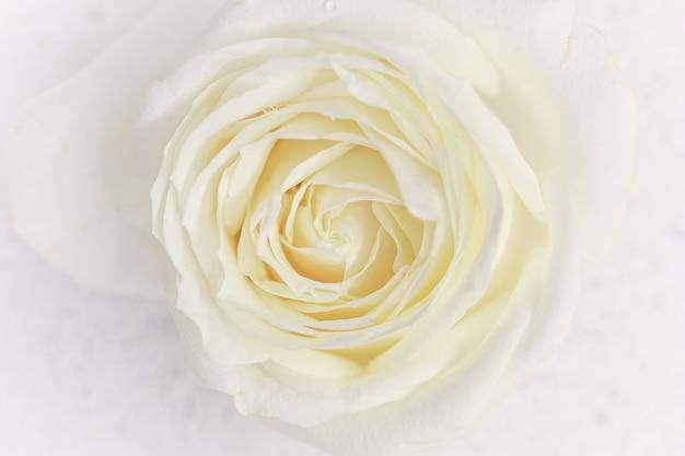 식물 개념, 결혼식 초대 카드 - 소프트 포커스, 추상적인 꽃 배경, 흰 장미 꽃. 휴가 브랜드 디자인을 위한 매크로 꽃 배경