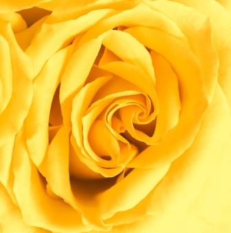식물 개념, 결혼식 초대 카드 - 소프트 포커스, 추상적인 꽃 배경, 노란 장미 꽃. 휴가 브랜드 디자인을 위한 매크로 꽃 배경