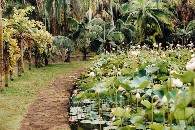 Ботанический сад в памплемусе, маврикий. пруд в ботаническом саду маврикия.