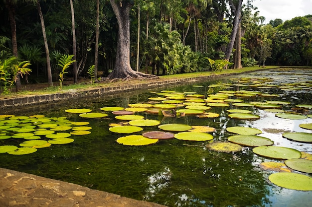Botanical garden on the paradise island of mauritius. beautiful pond with lilies.