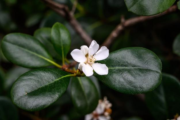 식물원. 라피올레피스. 아름다운 작은 흰색 꽃