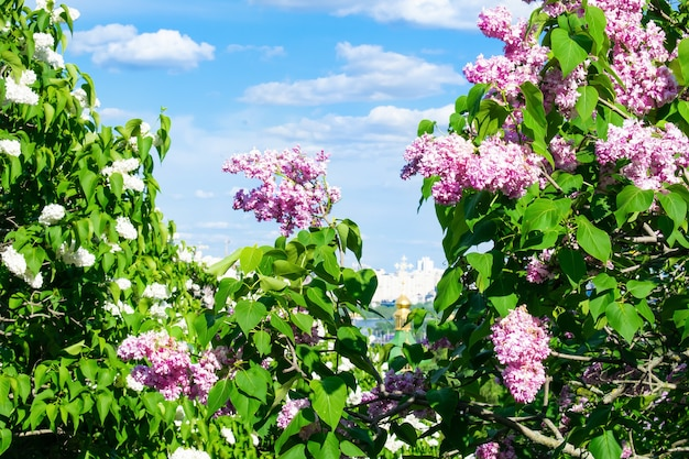 Botanical landscape in garden park bushes lilac flowers city aerial view scenic gardening nature