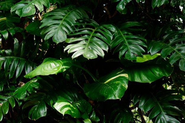 Botanical nature green tropical leaves monstera