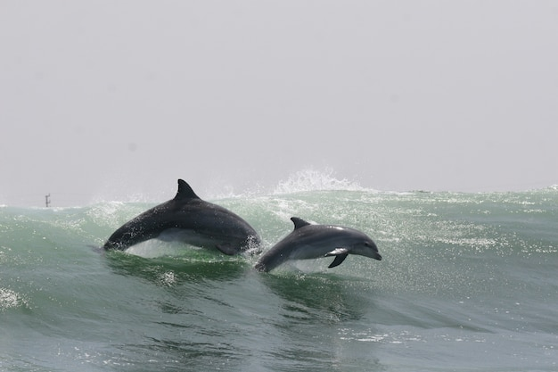 Bottlenose dolphin mother and calf jumping off the coast of peru