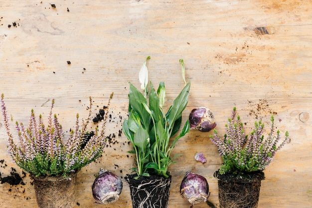 Bottom border of growing potted plant and flower plant; onion arranged on wooden desk