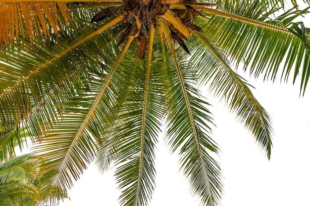 상향식 보기 녹색 열 대 야자수 잎 열 대 신선한 코코넛 야자수 프레임 흰색 배경에 고립 여름 휴가 배경 개념입니다.