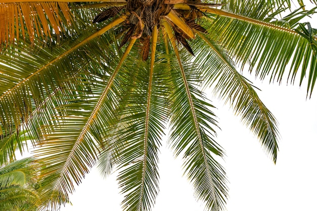 Bottom up view green tropical palm leaf tropical fresh coconut palm leaves frame isolated on white background summer holiday background concept.